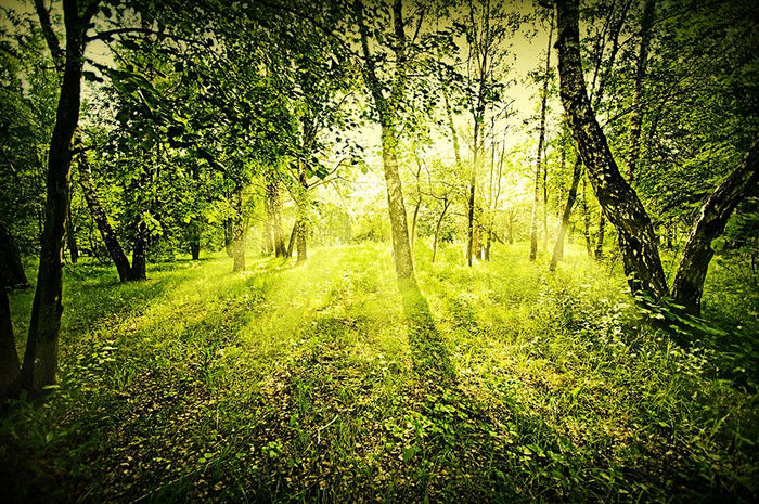 deep forest on summer morning Wall Mural Wallpaper