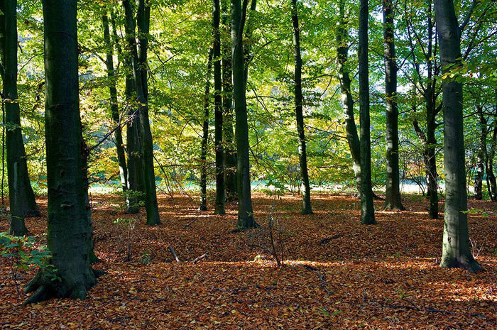 forrest edge in autumn Wall Mural Wallpaper