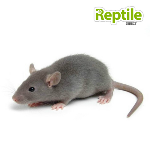 Frozen Small Rats x 5 – Reptile Direct