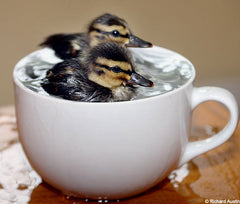 How cute! Ducklings nursed back to health in a teacup!