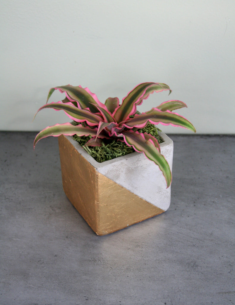 Cryptanthus in Paradox Pot