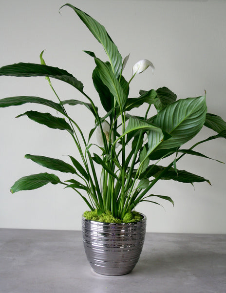 Green Plant in a Luxe Metallic Container