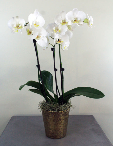 Orchid in a Luxe Metallic Container