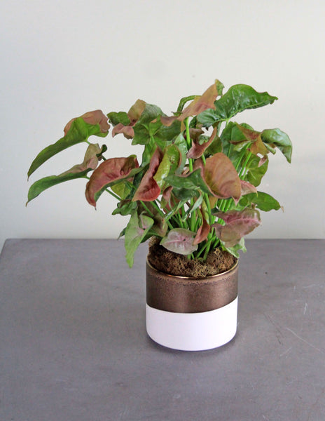 Green Plant in a White and Copper container