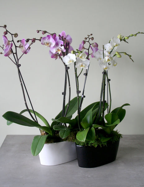 Double Orchids in a Ceramic Container