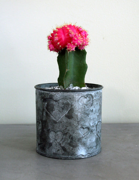 Grafted Cacti in a Metal Tin with Hearts