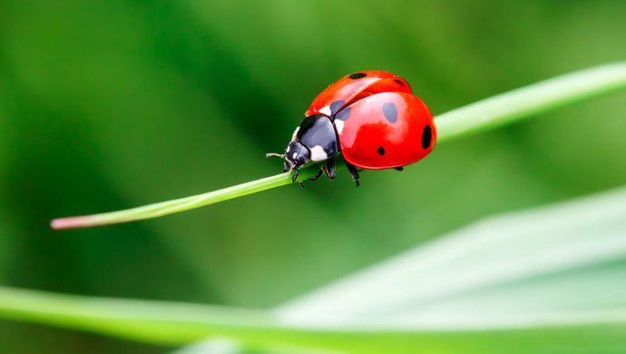 Lady Birds Fighting Your Plant Pests