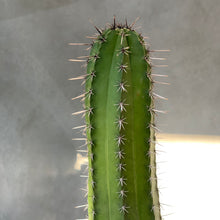 Load image into Gallery viewer, Polaskia Chichipe Cactus