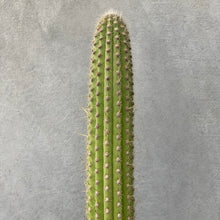 Load image into Gallery viewer, Cowboy Cactus