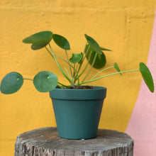 Load image into Gallery viewer, Pilea Peperomiodes