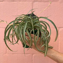 Load image into Gallery viewer, Spider Plant 13cm