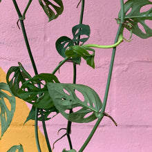 Load image into Gallery viewer, Monstera Adansonii Baskets