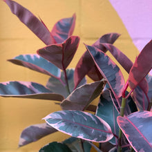 Load image into Gallery viewer, Ficus Elastica Ruby