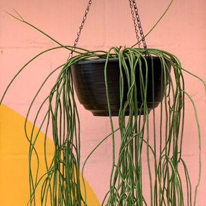 Assorted Giant Rhipsalis - 305mm Baskets
