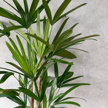 Load image into Gallery viewer, Lady Finger / Rhapis Palm 25cm pot