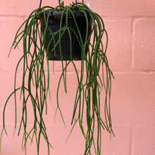 Load image into Gallery viewer, Rhipsalis Baccifera