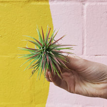 Load image into Gallery viewer, Tillandsia Ionantha Honduras
