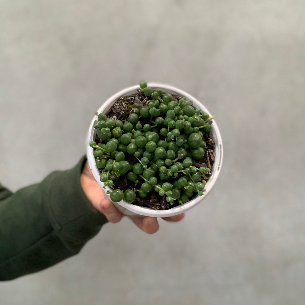 String Of Pearls - 13cm Hanging Pot