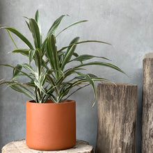 Load image into Gallery viewer, Dracaena Deremensis - 20cm pot