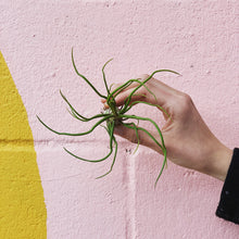 Load image into Gallery viewer, Tillandsia Bulbosa - Large
