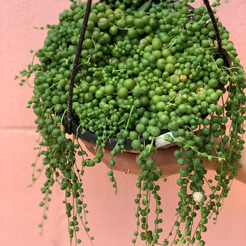 String Of Pearls 200mm Basket