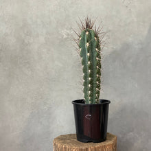 Load image into Gallery viewer, Stetsonia Coryne Cactus