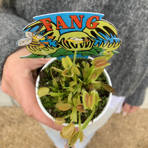 Venue Fly Trap - Doinaea Muscipula - 7cm