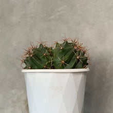 Load image into Gallery viewer, Double headed Ferro Cactus