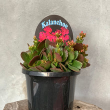 Load image into Gallery viewer, Kalanchoe Succulent