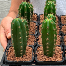 Load image into Gallery viewer, Trichocereus Hybrid Cactus - 6.5cm Pot