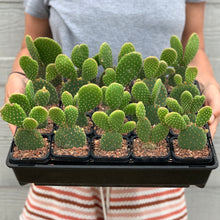 Load image into Gallery viewer, Opuntia Micro Daisy - 6.5cm Pot
