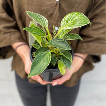 Load image into Gallery viewer, Philodendron Birkin - 13cm Pot