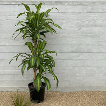 Load image into Gallery viewer, Dracaena Fragrans - Happy Plant - 30cm pot