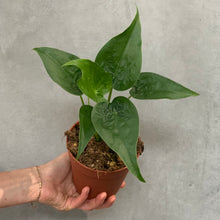 Load image into Gallery viewer, Alocasia Cucullata - 12cm pot