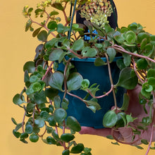 Load image into Gallery viewer, Sedum 'Tundra Tornado' 13cm hanging pot