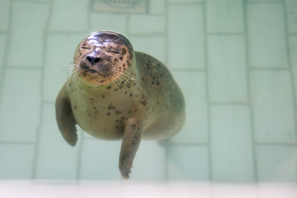 Seal in bath of pieterburen care center