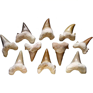 Shark Teeth - Wiccan Place