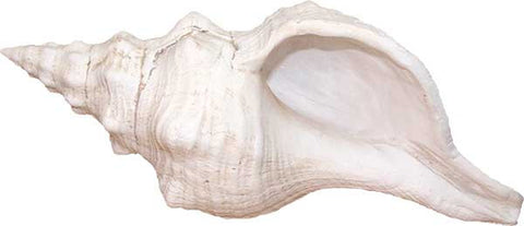 Lister's Conch Shell <BR> 5L x 12W x 5.5D