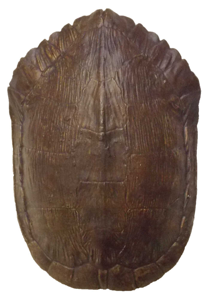 Turtle Shell <BR> 3.3H x 8L x 5.5W