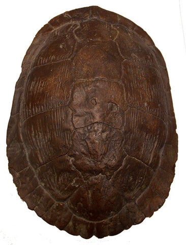 Turtle Shell <BR> 3.25H x 9L x 6.5W