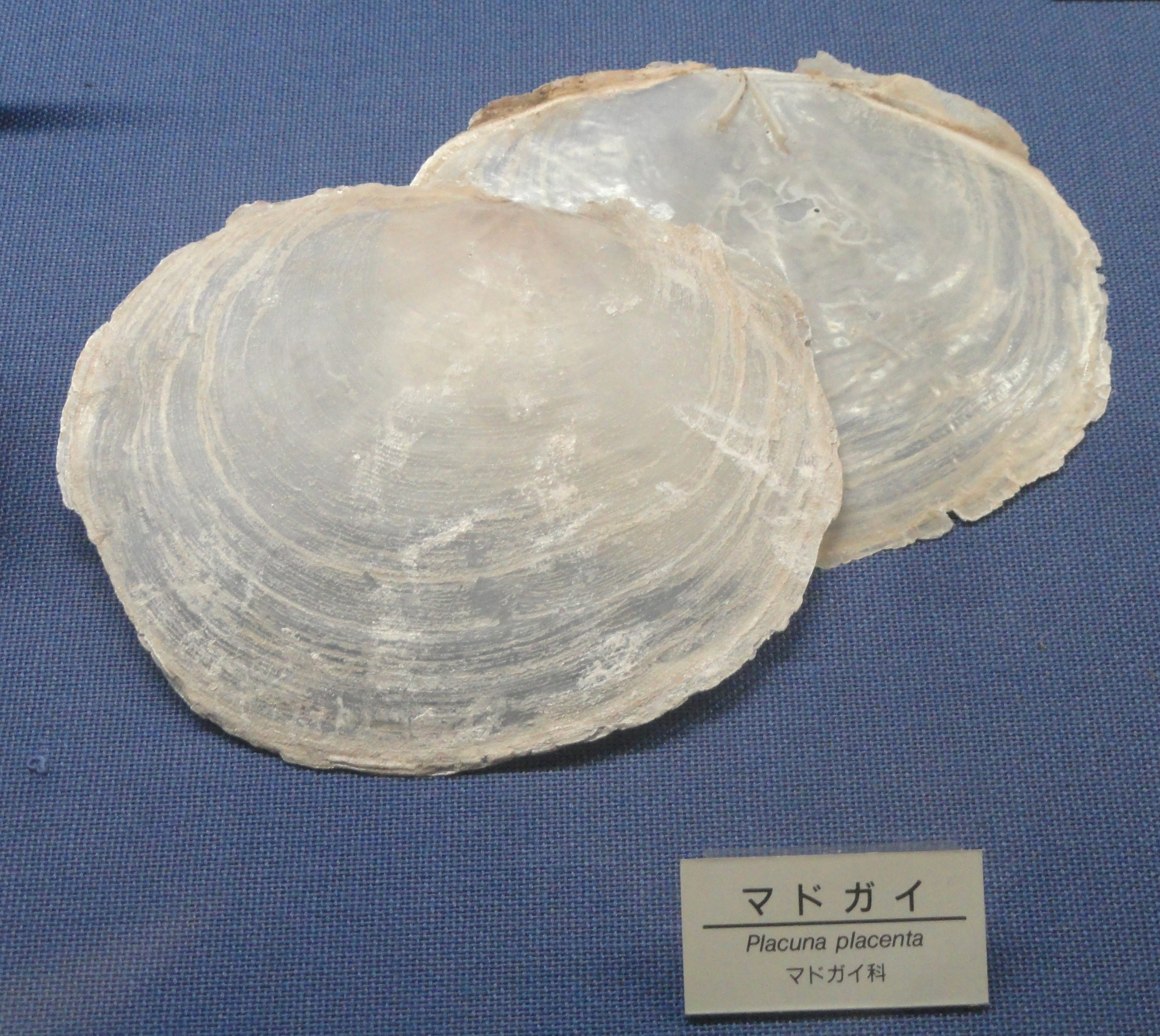 Placuna Placenta, or capiz shell, is a bivalve mollusk abundant in the Philippines.
