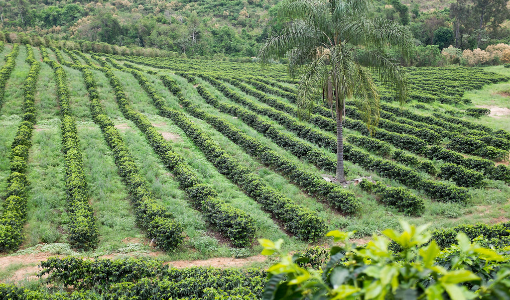 Coffee Trees Growing Brazil - DETOUR Coffee