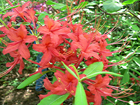 R. 'NeSmith Nursery Red'