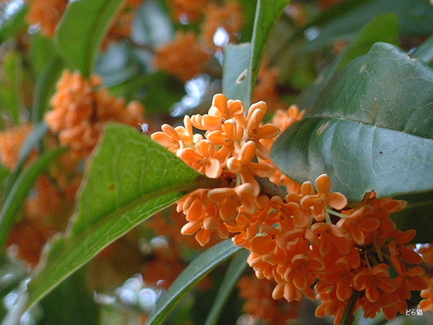 Osmanthus fragrans var. aurantiacus - Orange tea olive