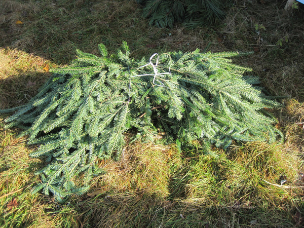Balsam Fir Tips