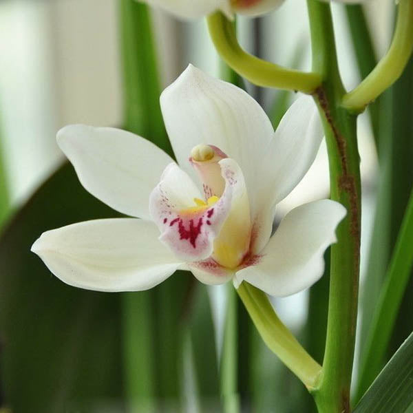 Clearance 100pcs Cymbidium Seeds-Rama Deals
