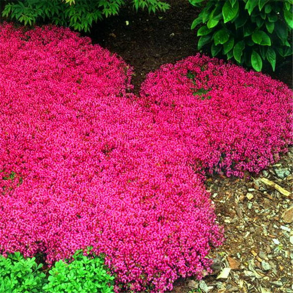 Clearance 100pcs bag creeping thyme seeds or blue rock for Purple flower ground cover perennial