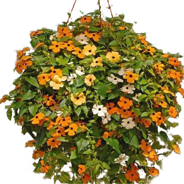 100 Black Eyed Susan Vine Flower Seeds-Rama Deals