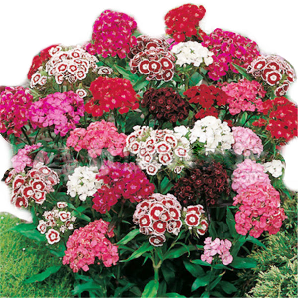 100pcs America Dianthus Seeds, Mixed Colour Sweet William Bonsai Flower Seeds-Rama Deals