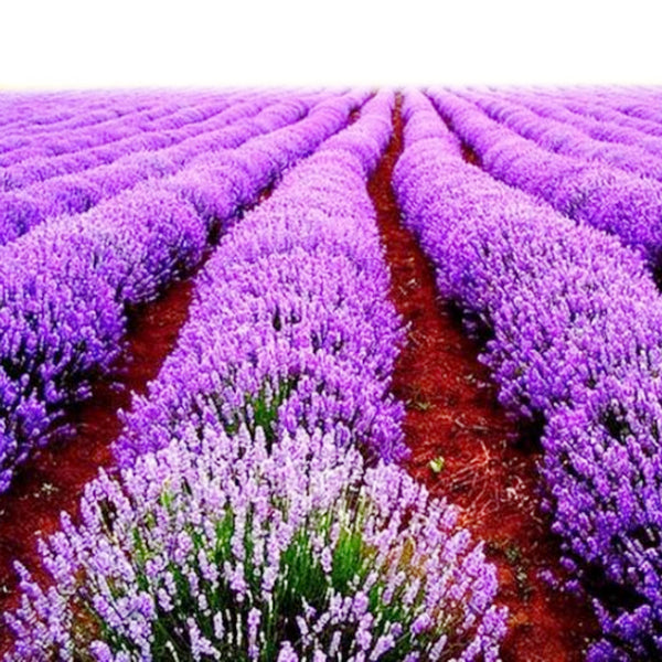 100pcs Purple Lavandula Vanilla Seeds Fragrant Lavender Seeds-Rama Deals